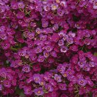 Алиссум Клеа Кристал Парпл Шэйдес (Clear Crystal Purple Shade), 1000шт Pan American