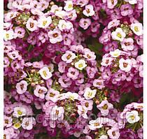 Алиссум Клеа Кристал Лавандер Шейдес  Clear Crystal Lavender Shade, 1000шт
