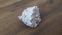 Ракушка морская натуральная 8 см в аквариум , фото 1