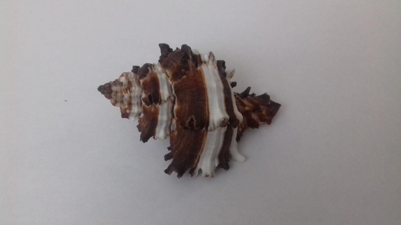 Ракушка морская натуральная 8 см в аквариум