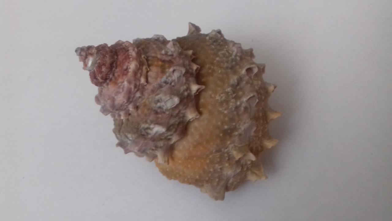 Ракушка морская натуральная 5х6 см в аквариум