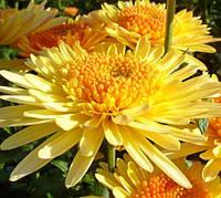 Хризантема Элеонора желтая, фото 1