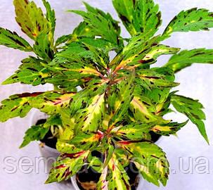 """Колеус гибридный """"Эмеральд Давн""""  № 28 \ Coleus hybridus Emerald Dawn ( саженцы), фото 2"""