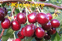 Саженцы плодовых ягодных деревьев вишни, Жуковского, от производителя, мой сад