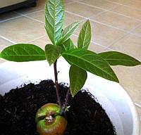 Косточки Авокадо, фото 1