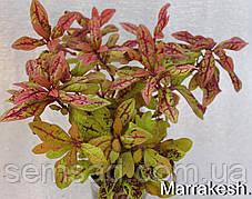 "Колеус гибридный ""Терра Нова Маракеш"" № 31  \ Coleus hybridus Terra Nova Marakesh ( саженцы), фото 3"