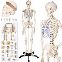 Скелет анатомич. человека 181 см+ плакат 200 костей Германия, фото 1