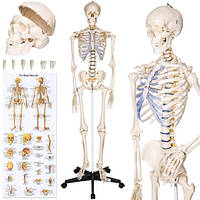 Скелет анатомич. человека 181 см+ плакат 200 костей Германия