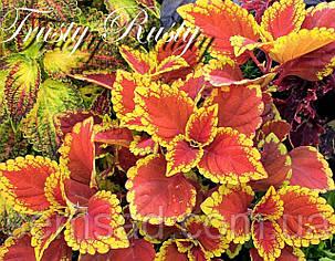 """Колеус гибридный """"Трасти Расти """" № 49 \ Coleus hybridus Trusty Rusty ( саженцы), фото 2"""