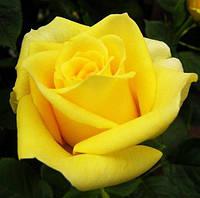 Саженцы розы Кронос (Kronos) (Нат)