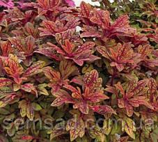 "Колеус гибридный ""Терра Нова Маракеш"" № 31  \ Coleus hybridus Terra Nova Marakesh ( саженцы), фото 2"