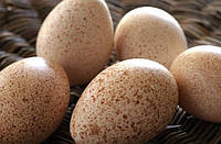 Яйцо индюшиное инкубационное