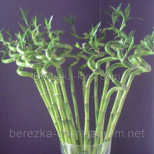 Бамбук долголетия и здоровья 7 стеблей