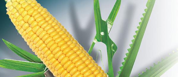Насіння кукурудзи Делітоп (Syngenta) - 1 п. о., фото 2