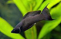 Моллинезия черная (сфенопс) аквариумные рыбки