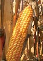 Семена кукурузы - PR39Н32 (2015 г)