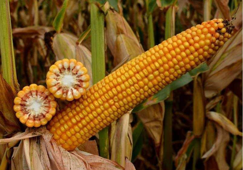 Насіння кукурудзи СИ Новатоп (Syngenta) - 1 п. о.