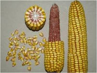 Семена кукурузы - P8000 (2015 г)