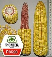 Семена кукурузы - Р8529 (2015 г)