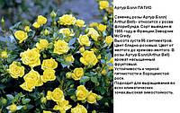 роза Флорибунда Артур Бэлл (ароматная)
