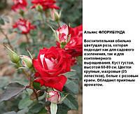 Саженец розы Флорибунда Альянс