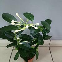 Горшечное растение Стефанотис.Венок невесты.Комнатный жасмин