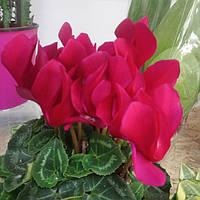Горшечное растение цикломен