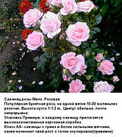 Саженец розы Мелкоцветковая. Розовая