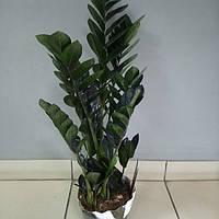 Горшечное растение Замиокулькас Черный. Долларовое дерево