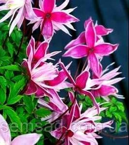 "Княжик "" Маркхэм Пинк"" \ Clematis 'Markhams Pink' ( саженец   ) , фото 2"