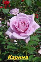 Саженцы кусты вьющихся, плетистых роз. Карина