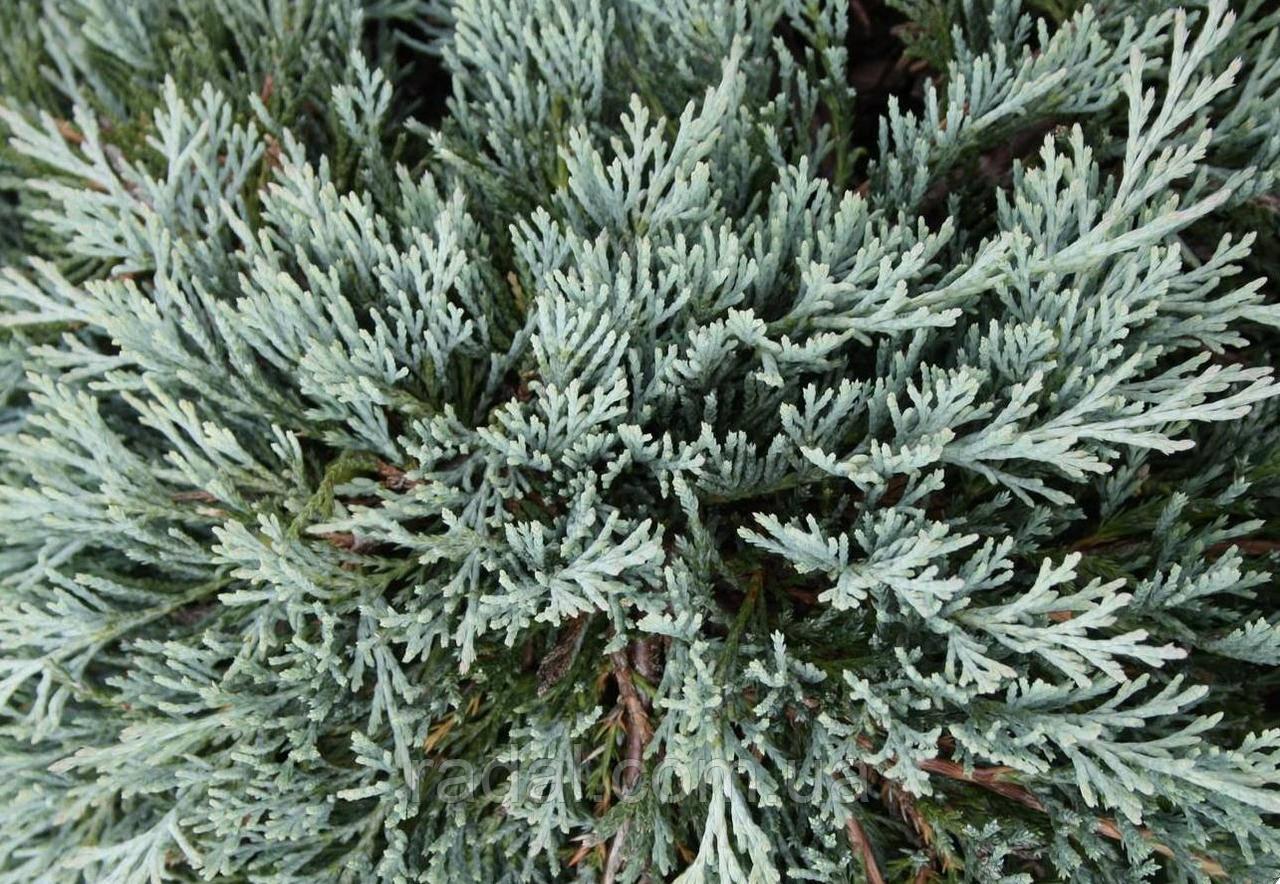 Можжевельник горизонтальный Глейсер (Juniperus horizontalis Gleiser)