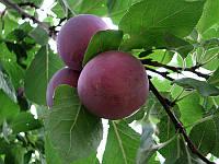 Саженцы плодовых деревьев Слива. сливы  ренклод альтана