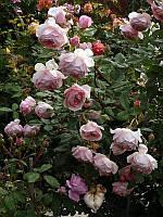 Саженцы кусты вьющихся плетистых роз. Вильямс Морис