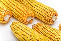 Семена кукурузы AS 33009 NEW
