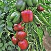 Перец сладкий Сондела (Sondela RZ), красный, 100 семян (кубовидный тип)