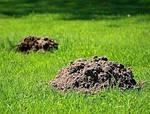 Как избавиться от кротов - на дачном, приусадебном участке, даче или огороде ?