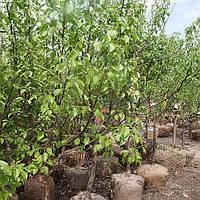 Плодовый сад. Высадка плодового сада.