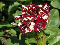 Саженцы чайно-гибридных роз Абра Кадабра