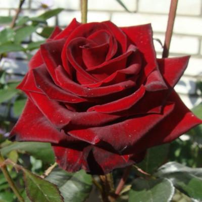 Саженцы роз Черная магия