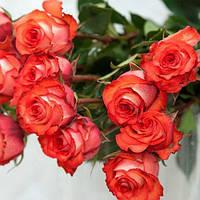 Саженцы роз Игуана, фото 1