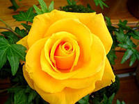 Саженцы роз Илиос, фото 1