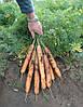 Семена моркови Анина 500 гр. Semo
