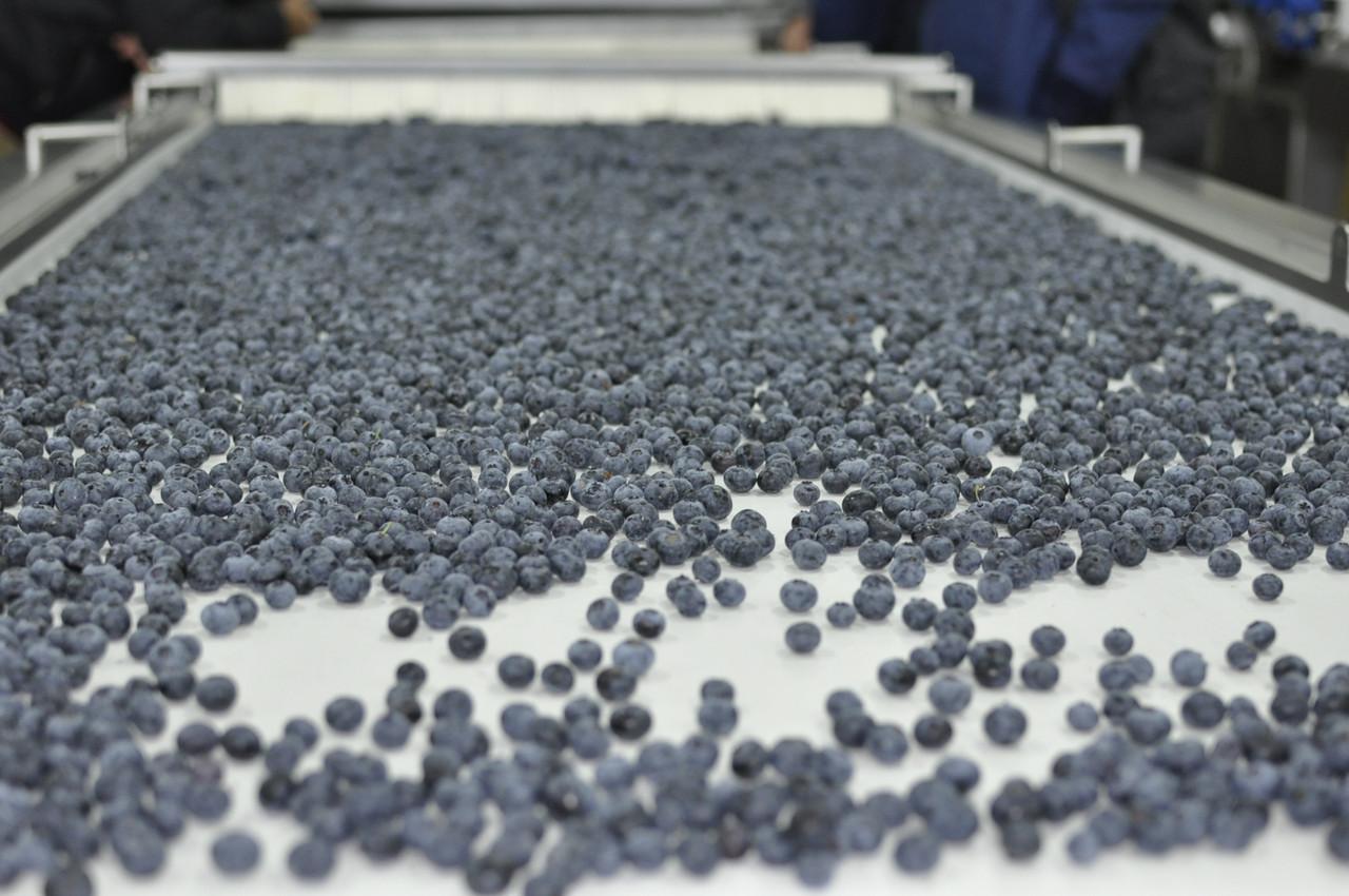 Почти 1 тис тонн ягоды голубики с Украины попала на рынок Европы