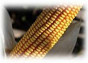 Насіння кукурудзи - ДЕЛЬФІН (2015 р)