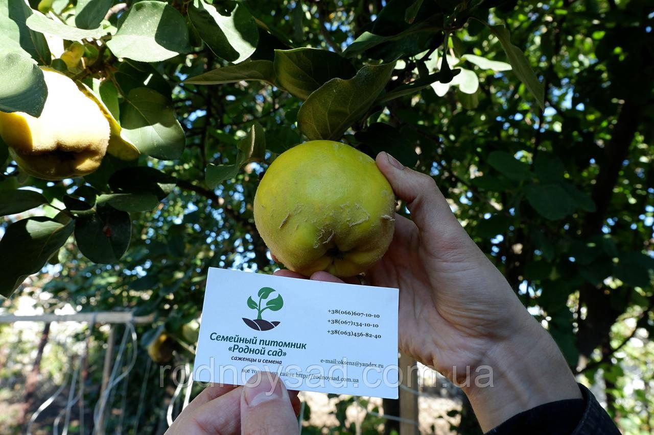 Айва семена (10 шт) для выращивания саженцев семечка насіння на саджанці + инструкция + подарок