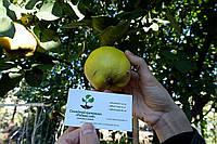 Айва семена (10 шт) для выращивания саженцев семечка насіння на саджанці + инструкция + подарок, фото 1