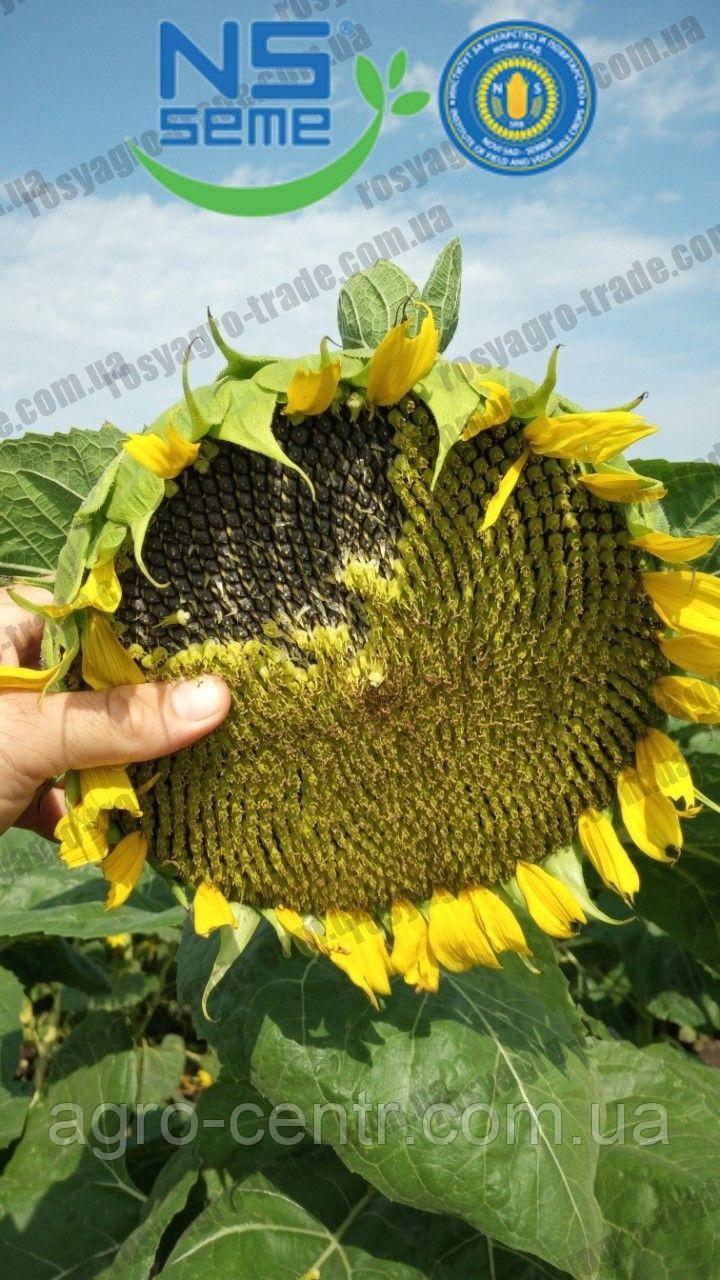 Семена подсолнуха НСХ 7637 под Евралайтинг