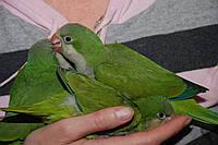 Очаровательные ручные попугайчики Зеленые Калита Монахи