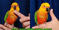 Аратинга Яндайя , Яндашка - полностью ручные и очень  способные птенцы
